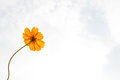 Orange cosmos sulphureus with translucent at petal and cloudy blue sky Stock Photos
