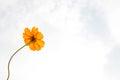 Orange cosmos sulphureus with translucent at petal and cloudy blue sky Stock Photos