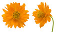 Orange cosmos in a white background pictured Stock Photos