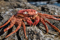 Orange crab on volcanic rocks near the atlantic ocean Royalty Free Stock Images