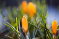 Orange crocus flowers macro view. Spring time landscape. Soft and blur background, macro view. shallow depth of field. Royalty Free Stock Photo