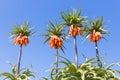 Orange Crown Imperial Lily, La...