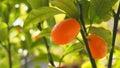 Orange cumquats in garden Valencia, Spain Royalty Free Stock Photo