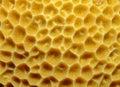 Orange cup coral, Balanophyllia elegans Royalty Free Stock Photo