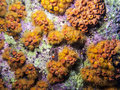 Orange cup coral tubastrea coccinea belongs to a group of corals known as large polyp stony corals Stock Photo