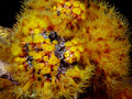 Orange cup corals at night tubastrea also known as sun coral or sun polyps is a genus of coral in the phylum cnidaria it is a Royalty Free Stock Images