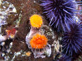 Orange cup corals and purple urchins shot while scuba diving on santa cruz island part of the channel islands off the coast of Royalty Free Stock Images
