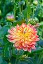 Orange dahlia Royaltyfria Bilder