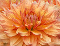 Orange dahlia blossom of an Stock Photos