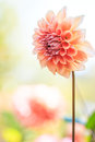 Orange dahlia closed up of Royalty Free Stock Images