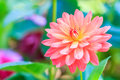 Orange dahlia closed up of Royalty Free Stock Photography