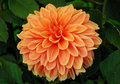 Orange Dahlia Flower Stock Image