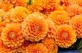 Orange Dahlia Flower Background
