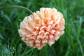 Orange dahlia flower on background of grass Royalty Free Stock Image