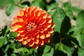 Orange dahlia flower closeup view Royalty Free Stock Photos