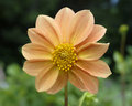 Orange dahlia flower pale closeup Royalty Free Stock Image