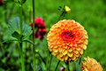 Orange dahlia in a garden Stock Image