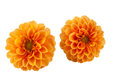 Orange dahlia on white background Stock Image