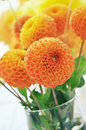 Orange dahlias bouquet in vase Stock Image