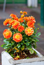 Orange dahlias in stone pot at a town street vertical shot Stock Images