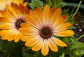 Orange daisies astra african daisy flowers Royalty Free Stock Photo