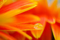 Orange daisy colors refraction on water drops Royalty Free Stock Photo