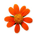 Orange daisy flower Royalty Free Stock Photo