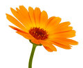 Orange daisy flower with petals Stock Photography