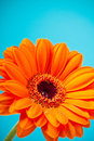 Orange Daisy Gerbera Flower on blue Royalty Free Stock Images
