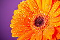 Orange Daisy Gerbera Flower on purple Royalty Free Stock Photo