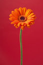 Orange Daisy Gerbera Flower on red Stock Image