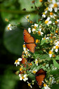 Orange Danaus Gilippus Queen Butterflies Royalty Free Stock Photo