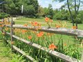 Orange Daylilies growing along a wooden fence Royalty Free Stock Photo