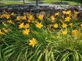 Orange daylilies growing by stone wall Royalty Free Stock Photo