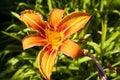 Orange daylily Royalty Free Stock Photo