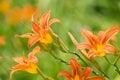 Orange daylily flowers Royalty Free Stock Photo