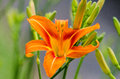 Orange Daylily Royalty Free Stock Photo