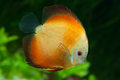 Orange Discus in aquarium Royalty Free Stock Images