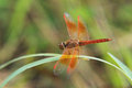 Orange dragonfly in green background on grass Royalty Free Stock Images