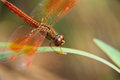 Orange dragonfly in green background on grass Stock Photo