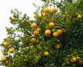 Orange with drop water on tree Royalty Free Stock Photo