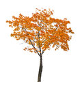 Orange fall maple tree isoalted on white autumn background Royalty Free Stock Photos