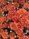 Orange fall mums colorful chrysanthemums for autumn decorations Royalty Free Stock Photos
