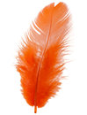 Orange feather isolated on white background cutout Royalty Free Stock Photo