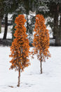 Orange fir bush in snow Royalty Free Stock Image