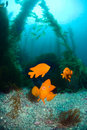 Orange fish on ocean reef Stock Image