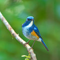 Orange flanked bush robin bird beautiful blue male tarsiger cyanurus on a branch Stock Photos