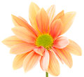 Orange flower Royalty Free Stock Photo