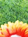 Orange flower 7 Royalty Free Stock Photography
