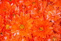 Orange flower for background Royalty Free Stock Photo